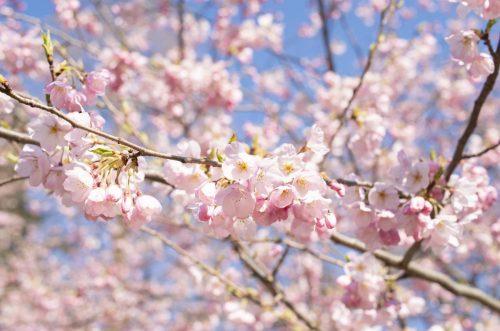 錦町公園の桜の写真(アップ)