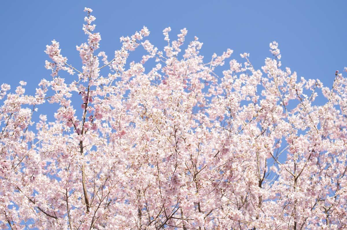 青空を背景にした錦町公園の桜の写真