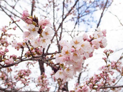 西公園の桜の写真
