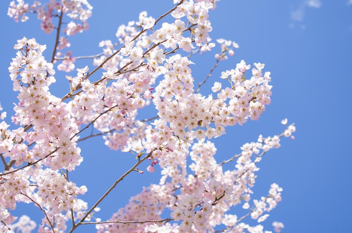 錦町公園の桜の写真