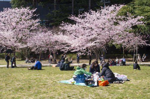 錦町公園のお花見の写真