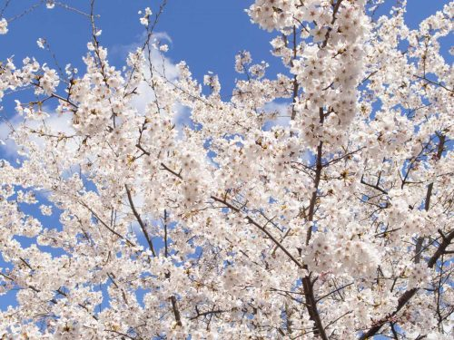 西公園の満開の桜の写真