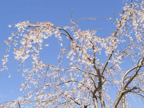 西公園の愛姫櫻の写真