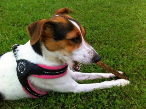 トレポンティのハーネス「フィビアソフトメッシュ」を使っている犬の写真