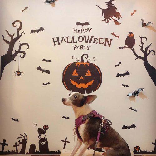 ハロウィン仕様の壁で撮るアスター