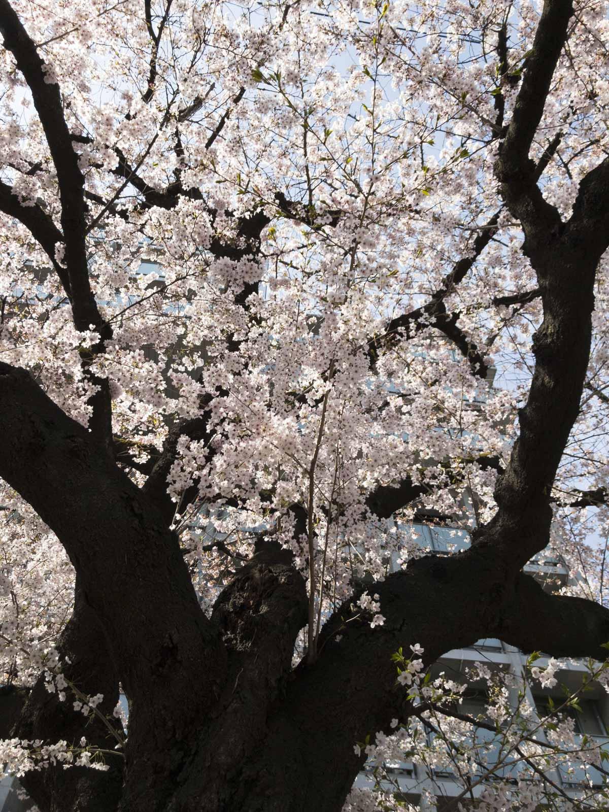 東北大学片平キャンパスの桜の写真