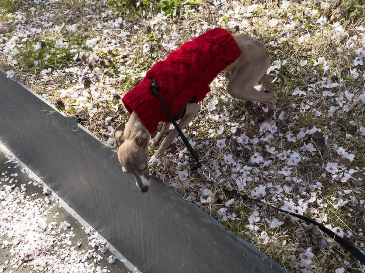 セーターを着ている犬のステラの写真