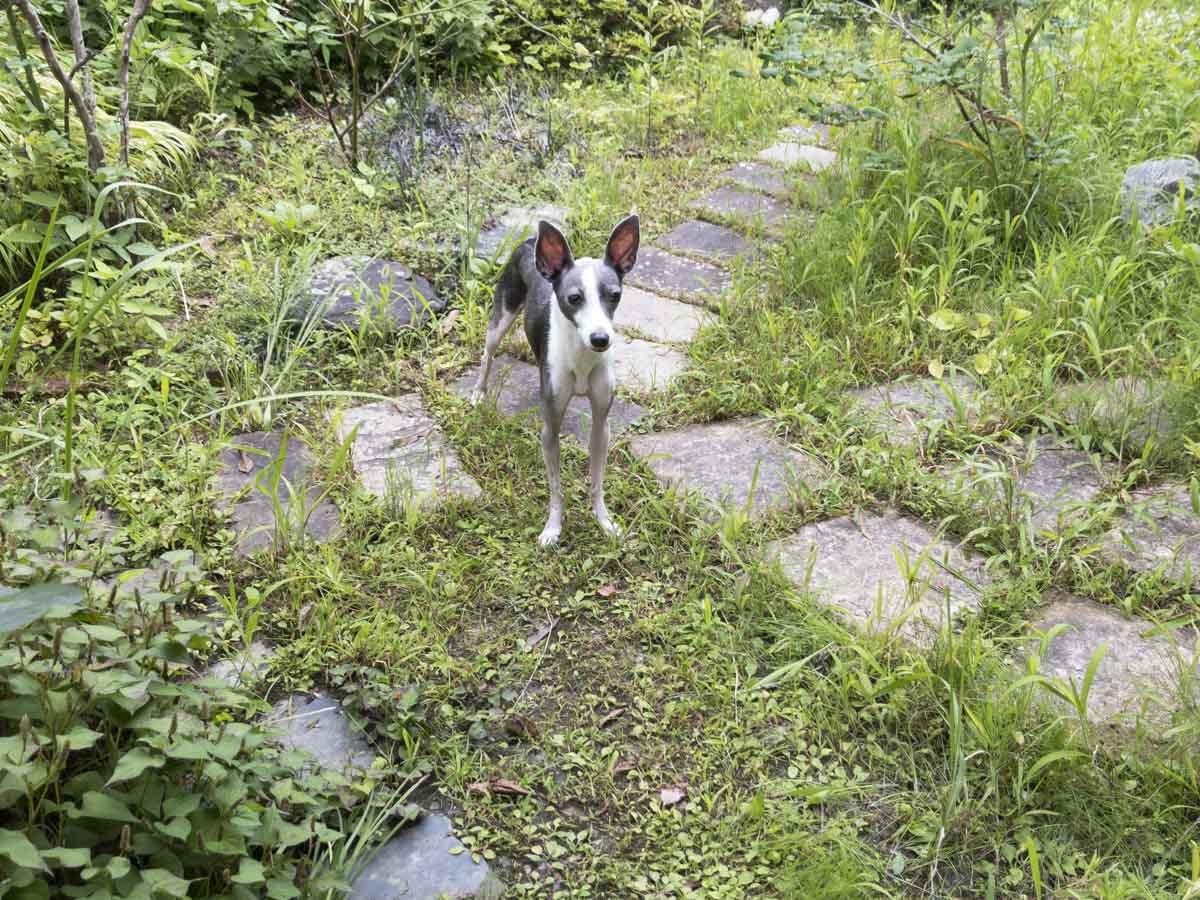 実家の庭で佇む犬のアスターの写真