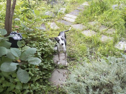 実家の庭の木陰で佇む犬のアスターの写真