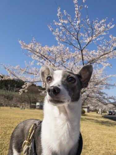 満開の桜の木を背景にした犬のアスターの写真
