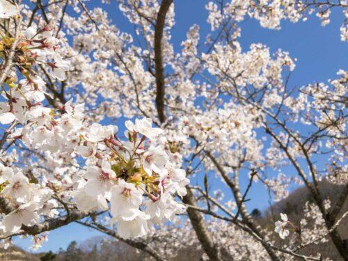 枝に咲き誇った桜の花びらの写真