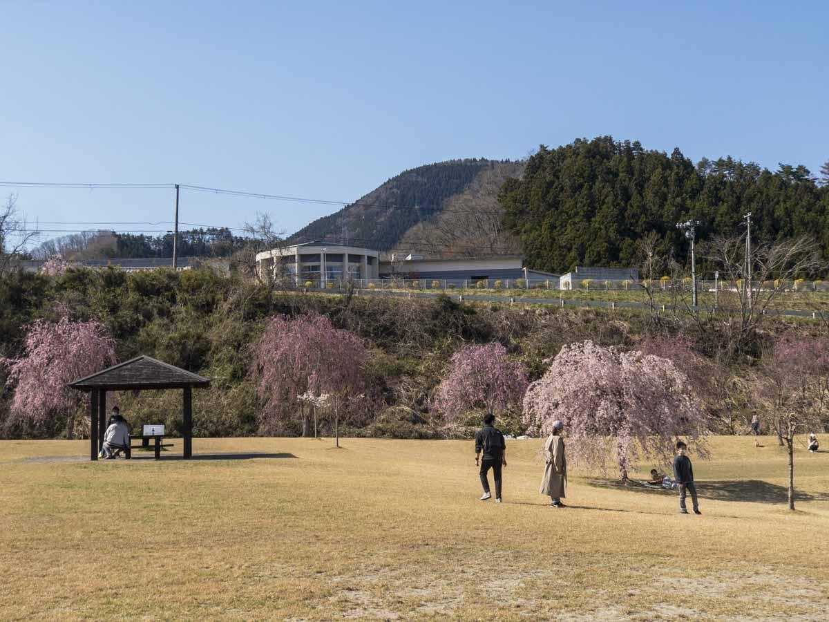 桜が満開のあさひな湖畔公園の全景の写真、新芽が未だ生えていない芝生の上に桜を見物している数人の人々がいる