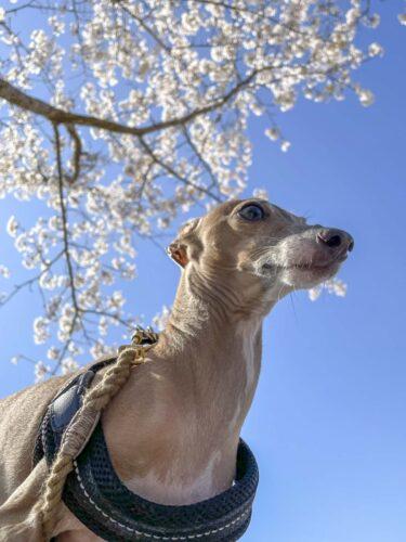 満開の桜の枝を背景にした犬のステラの写真