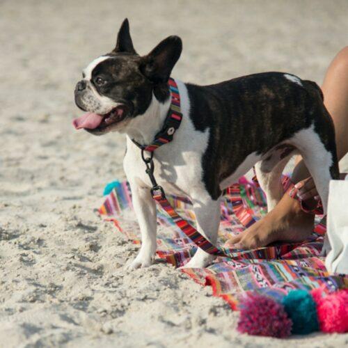 ウルフギャングの首輪とリードを身につけビーチに佇む犬の写真