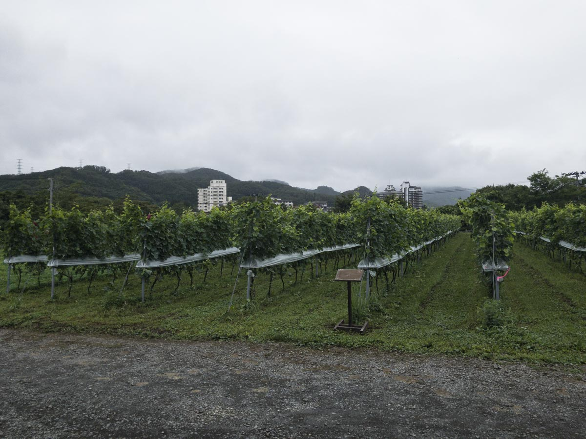 秋保ワイナリーのブドウ畑の写真