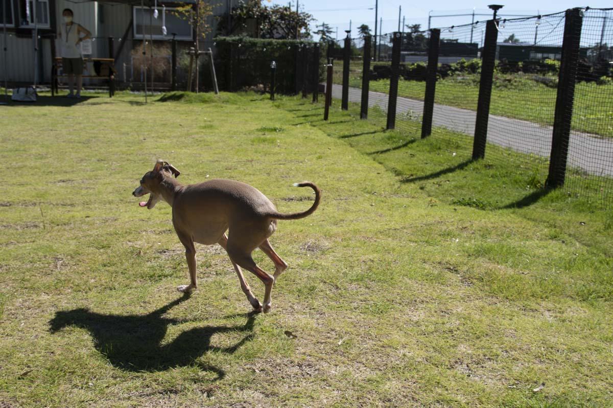 亀岡ベースのドッグランでの犬のステラの写真